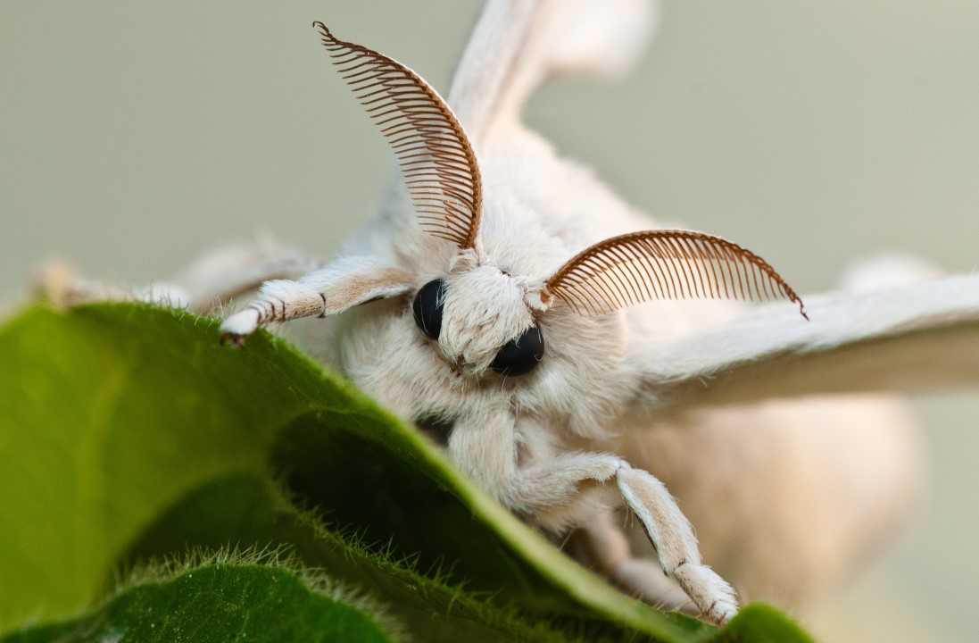 white-silkworm-with-blurred-background